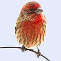 Little Beauty Male Finch I by Debbie Portwood