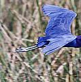 Little Blue Heron In Flight by Roger Wedegis