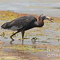 Little Blue Heron In Swamp by Robert Frederick