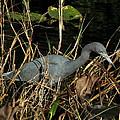 Little Blue Heron by Peg Urban