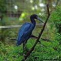 Little Blue Heron Portrait by Roy Williams