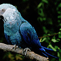 Little Blue Macaw Cyanopsitta Spixii by Claus Meyer