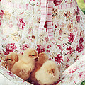 Little Chicks by Stephanie Frey