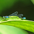Little Dragonfly by Randy Harris
