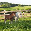 Little Horses At Pasture by Elizabeth MacKinney