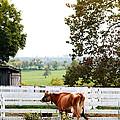 Little Jersey Cow by Stephanie Frey