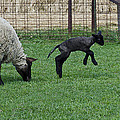 Little Lamb Playing by LeeAnn McLaneGoetz McLaneGoetzStudioLLCcom