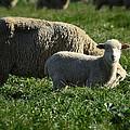 Little Lamb by Saija  Lehtonen