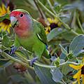 Little Lovebird by Saija  Lehtonen