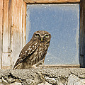 Little Owl Athene Noctua On Window by Konrad Wothe