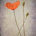 Little Poppy by Guido Montanes Castillo