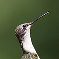 Little Princess - Hummingbird by Travis Truelove