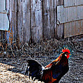 Little Red Rooster by Anjanette Douglas