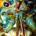 Live New England American Lobsters From Cape Cod by Matt Suess