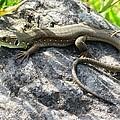 Lizard by Andonis Katanos