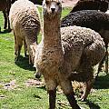 Llama On The Inca Trail by Nimmi Solomon