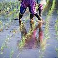 Local Planting Rice By Hand by Axiom Photographic