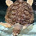 Loggerhead Sea Turtle by Elizabeth Hart