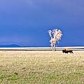Lone Buffalo 3 by Douglas Barnett