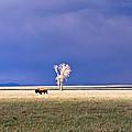 Lone Buffalo 4 by Douglas Barnett