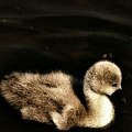 Lone Cygnet by YoursByShores Isabella Shores
