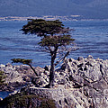 Lone Cypress By The Sea by Stephen Whalen