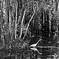 Lone Egret Black And White by Bruce Bain