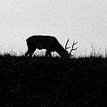 Lone Male Grazing On Top Of Hill. by Crystal Heitzman Renskers