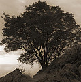 Lone Oak 2 Sepia by Jim And Emily Bush