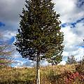 Lone Tree by John Herzog