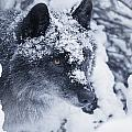 Lone Wolf In Snow by Don Hammond