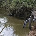Lone Zebra At The Drinking Hole by Darcy Michaelchuk