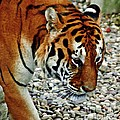 Lonely Tiger by Timothy Coover