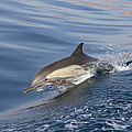 Long-beaked Common Dolphin Delphinus by Suzi Eszterhas
