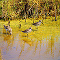 Long Billed Dowitchers Migrating by Roena King