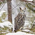 Long Eared Owl by John Pitcher