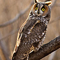 Long-eared Owl by Mircea Costina Photography