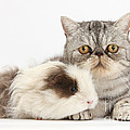 Long-haired Guinea Pig And Silver Tabby by Mark Taylor