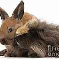 Long-haired Guinea Pig And Young Rabbit by Mark Taylor