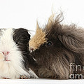 Long-haired Guinea Pigs by Mark Taylor