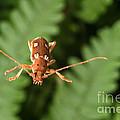 Long-horned Beetle In Flight by Ted Kinsman
