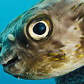 Long-spine Porcupinefish Diodon by Pete Oxford