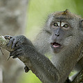 Long-tailed Macaque Macaca Fascicularis by Cyril Ruoso