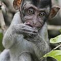 Long-tailed Macaque Macaca Fascicularis by Hiroya Minakuchi