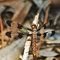 Long Tailed Skimmer 8695 3318 by Michael Peychich