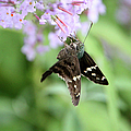 Long Tailed Skipper - Urbanus Proteus by Ericamaxine Price