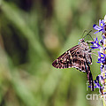 Long-tailed Skipper Butterfly by Cindy Bryant
