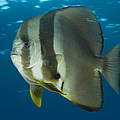 Longfin Spadefish, Papua New Guinea by Steve Jones