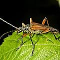 Longhorn Beetle by Dr Keith Wheeler