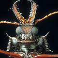 Longhorn Beetle Macrodontia Cervicornis by Mark Moffett